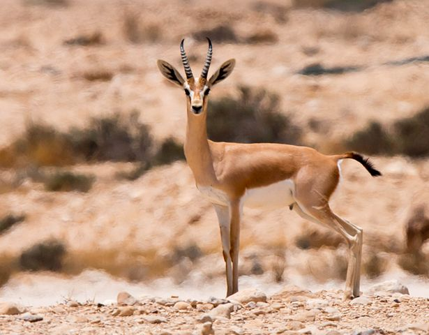 Dorcas gazelles. Ezuz, Israel